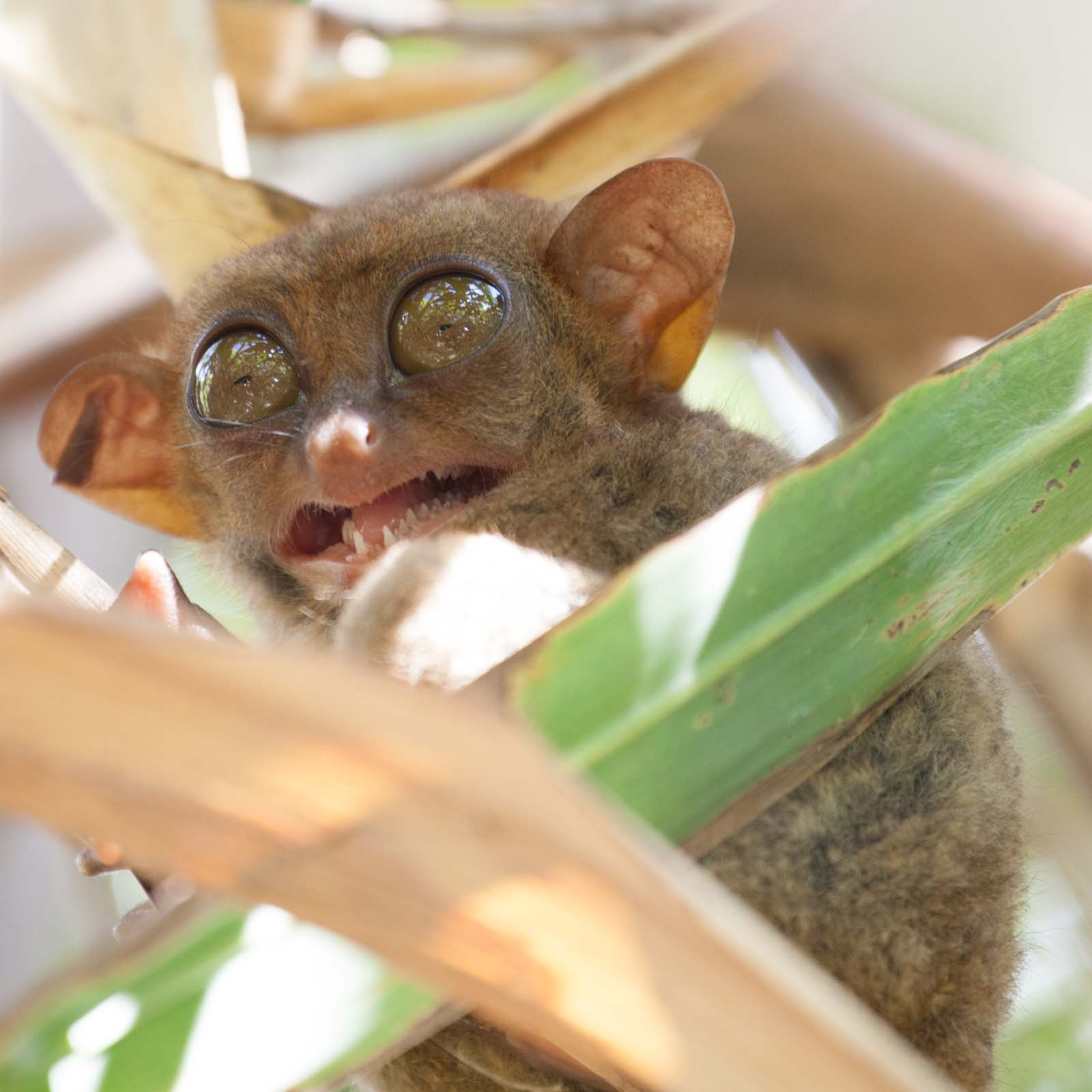 Agitated tarsier